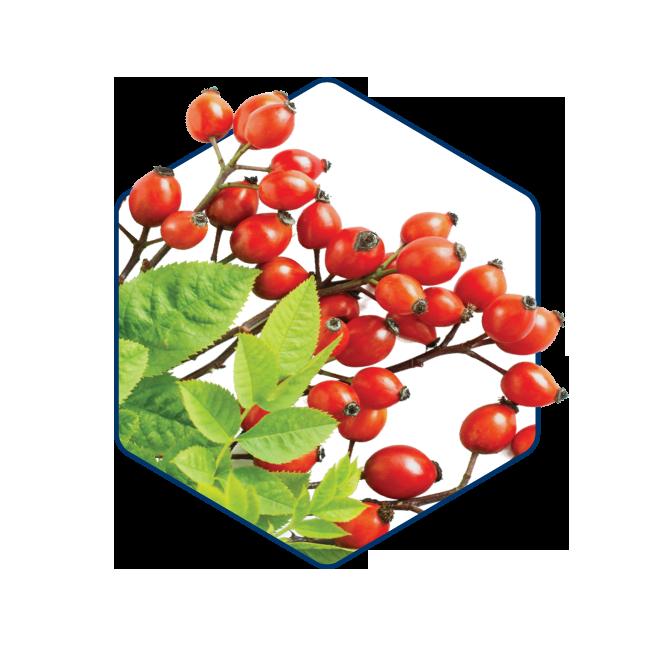 Šípkový plod1